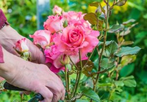 Tips for Cutting Roses Orlando